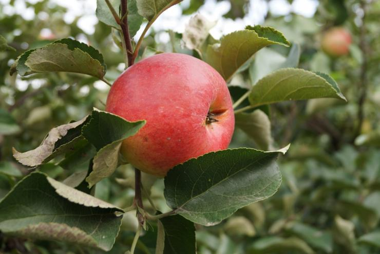 Естественно стелющиеся сорта яблонь