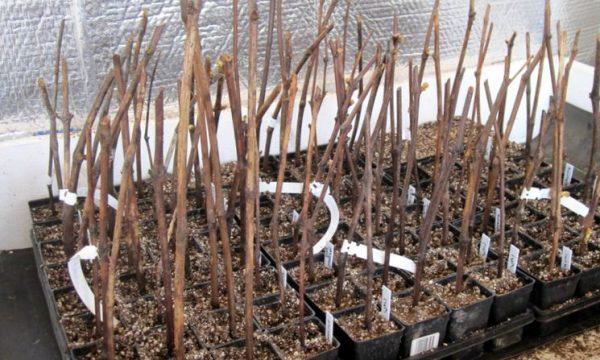 Выращивание саженцев винограда из чубуков